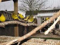 fife canaries