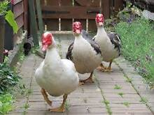 Adult sized Muscovy Ducks Berriedale Glenorchy Area Preview