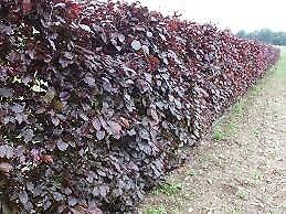 Purple beech hedging Plant Now
