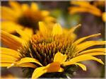 goldconeflower