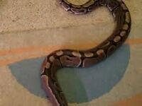 female royal ball python