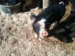 Berkshire sows