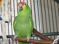 LOOK! Amazon Parrot Tame & Talking