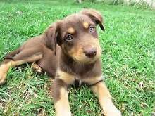 Tan Kelpie Puppy Wanted Spearwood Cockburn Area Preview
