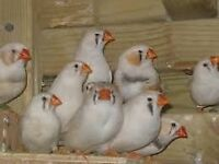 Zebra Finches (Mostly White color)