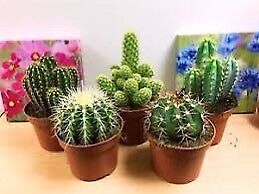 Looking for a cactus