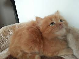 Kitten, 1 month old for sale for good home Melbourne CBD Melbourne City Preview