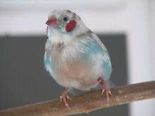 Finches for sale Dandenong South Greater Dandenong Preview