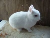 Baby Pure breed Netherland Dwarf Rabbits 10 week old