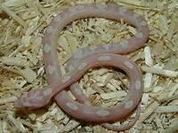 Snow corn snake hatchlings/baby
