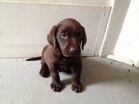 Chocolate Labrador puppie
