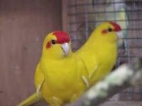Parakeet kakarikis for sale