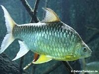 LARGE YELLOW FINNED BARB