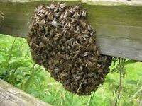 SWARM COLLECTION .HONEY BEES. BEES