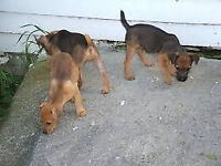 One black n' tan beautiful Lakeland dog pup for sale.