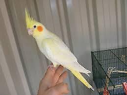 Cockatiels - Hand Raised