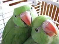 Beautiful baby green ring neck talking Parrot