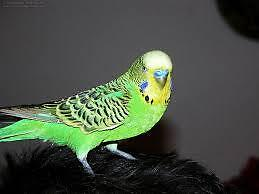2  budgie birds with cage and toy and food