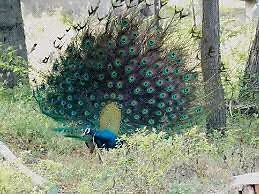 Indian blue shoulder peacocks Belleville Belleville Area image 1