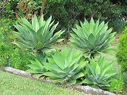 AGAVE  -  FEATURE PLANT CHEAPEST EVER -  FULL SUN / NO WATERING Samford Valley Brisbane North West Preview