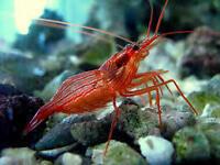 Peppermint shrimp à vendre