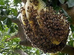 Honey Bee Rescue and Removal - Swarm Rescue Kitchener / Waterloo Kitchener Area image 2