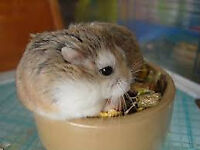 dwarf hamster and setup
