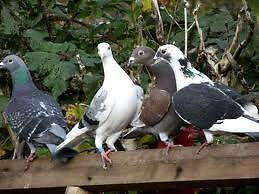 Pigeon Racing Club Seeking Ne Members