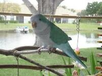baby blue quaker parrots 12 weeks old males and females with hatching certificates