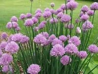 chives herbs pink flowering cottage garden cooking