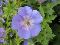 geranium johnsons blue hardy perennial cottage garden favourite