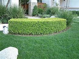 Hedging buxus Churchill Ipswich City Preview