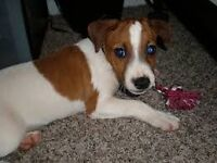 small jack rustle for sale 4 months old