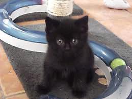 Looking for male black ragdolls or ragamuffins kittens