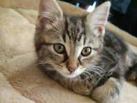 Bengal x maine coon short or long hair kittens
