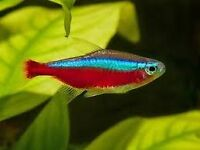 10 x Cardinal Tetras, Tropical fish, Community fish, Shoal fish, Collection and delivery