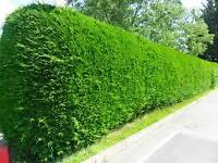 Hedge Trimming- 2016