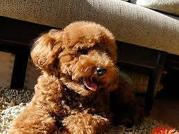 Looking for a red toy poodle puppy, could wait till available. Haymarket Inner Sydney Preview