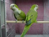 baby green quaker parrots 12 weeks old males and females with hatching certificates