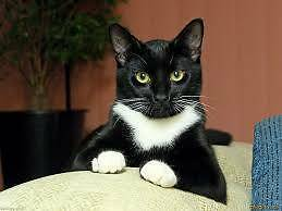 Lost black and white cat - NUNDAH Nundah Brisbane North East Preview