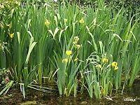 Iris pond plant