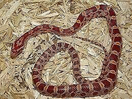 Baby corn snakes £30 2 for £55 CAN DELIVER