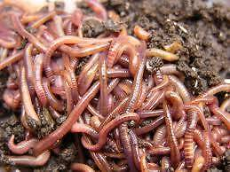 Compost Worms Coffs Harbour 2450 Coffs Harbour City Preview