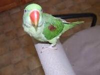 cockatiel bird Alexandre pet sale