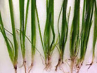 Fish tank - Plants for sale (Vallisneria spiralis - Straight Vallis)