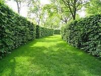 Cedar Hedge Trimming Toronto | Oshawa 9052595138 iTrim4U