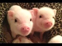 LF: One or two miniature piglets
