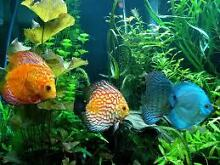 AQUARIUM and POND FISH ADELAIDES LARGEST RANGE Para Hills West Salisbury Area Preview