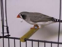 Male society Finch and female back cheek Zebra Finch cage incul