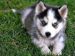 Looking for a husky